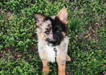 German Australian Shepherd Dog Breed Information – All You Need To Know