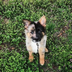 German Australian Shepherd Dog Breed Information All You Need To Know