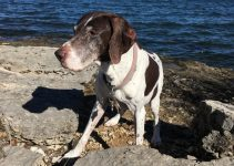 German Hund Pointer Dog Breed Information – All You Need To Know