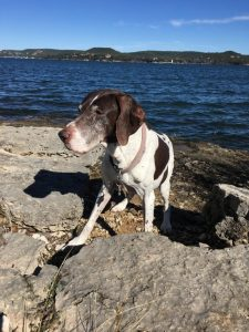 German Hund Pointer Dog Breed Information All You Need To Know