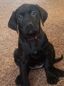 German Shorthaired Lab Dog Breed Information All You Need To Know