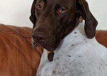 German Shorthaired Sprointer Dog Breed Information – All You Need To Know