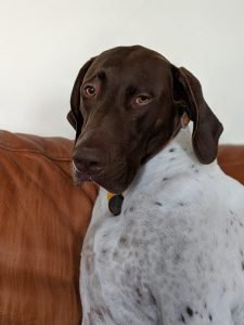 German Shorthaired Sprointer Dog Breed Information All You Need To Know