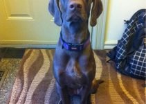 German Shorthaired Weimaraner Dog Breed Information – All You Need To Know
