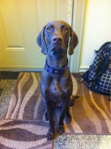 German Shorthaired Weimaraner Dog Breed Information All You Need To Know