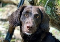 German Spaniel Breed Information – All You Need To Know