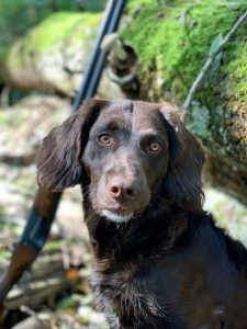 German Spaniel Breed Information All You Need To Know
