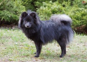 German Spitz Breed Information All You Need To Know