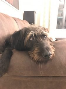 German Wirehaired Lab Dog Breed Information All You Need To Know