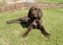 German Wirehaired Pointing Vizsla Dog Breed Information – All You Need To Know