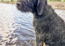 German Wirehaired Pointing Wolfhound Dog Breed Information – All You Need To Know
