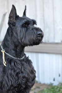 Giant Bolonauzer Dog Breed Information All You Need To Know