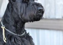 Giant Bolonauzer Dog Breed Information – All You Need To Know