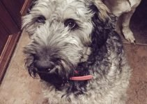 Giant Schnoodle Dog Breed Information – All You Need To Know