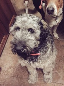 Giant Schnoodle Dog Breed Information All You Need To Know