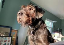 Giant Wire Hair Schnauzer Dog Breed Information – All You Need To Know