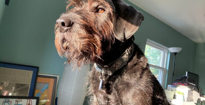 Giant Wire Hair Schnauzer Dog Breed Information All You Need To Know