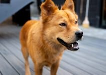 Golden Chow Retriever Dog Breed Information – All You Need To Know
