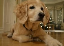 Golden Cocker Retriever Dog Breed Information – All You Need To Know