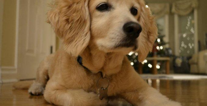 Golden Cocker Retriever Dog Breed Information All You Need To Know