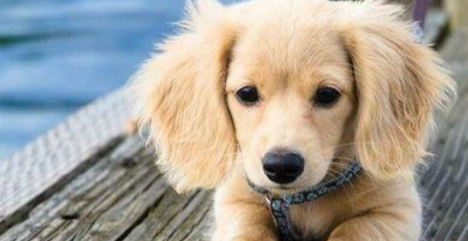 Golden Dox Dog Breed Information All You Need To Know