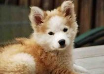 Golden Indian Dog Breed Information – All You Need To Know