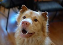 Golden Pei Dog Breed Information – All You Need To Know