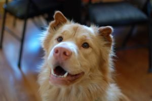 Golden Pei Dog Breed Information All You Need To Know