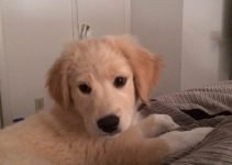 Golden Pyrenees Dog Breed Information – All You Need To Know