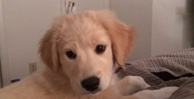 Golden Pyrenees Dog Breed Information All You Need To Know