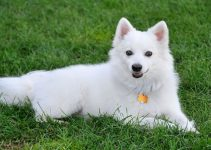 10 Breeds Most Compatible with American Eskimo Dogs