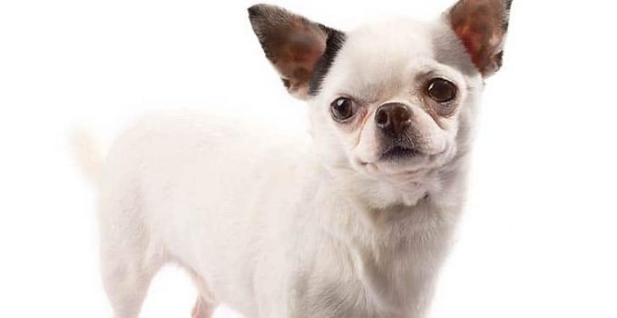 10 Dog Breeds Compatible With Chihuahuas