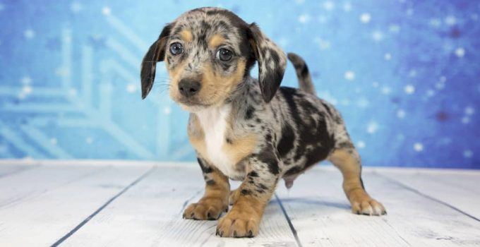10 Dog Breeds Compatible With Chiweenies