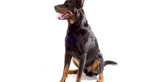 10 Dog Breeds Most Compatible With Beaucerons