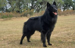 10 Dog Breeds Most Compatible With Belgian Sheepdogs
