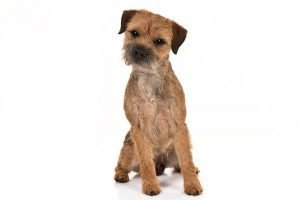 10 Dog Breeds Most Compatible With Border Terriers