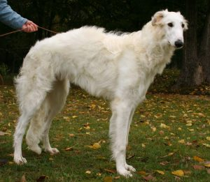 10 Dog Breeds Most Compatible With Borzois