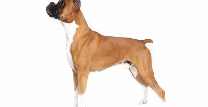 10 Dog Breeds Most Compatible With Boxers