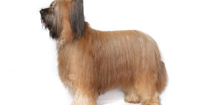 10 Dog Breeds Most Compatible With Briards