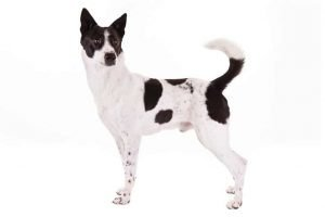 10 Dog Breeds Most Compatible With Canaan Dogs
