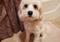 10 Dog Breeds Most Compatible with Cavachons