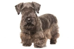 10 Dog Breeds Most Compatible With Cesky Terriers