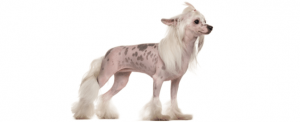 10 Dog Breeds Most Compatible With Chinese Crested Dogs