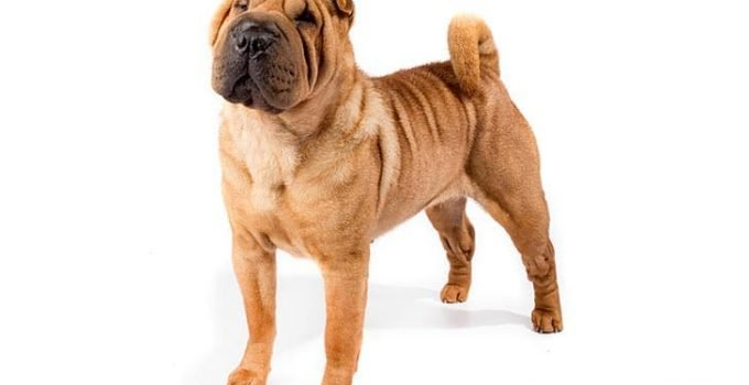 10 Dog Breeds Most Compatible With Chinese Shar Pei