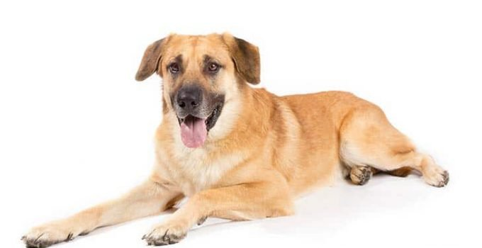 10 Dog Breeds Most Compatible With Chinooks