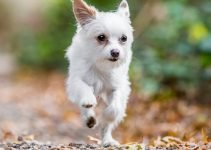 10 Dog Breeds Most Compatible with Chorkies