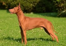 10 Dog Breeds Most Compatible with Cirneco dell'Etna