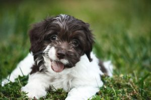 10 Dog Breeds Most Compatible With Cockapoo