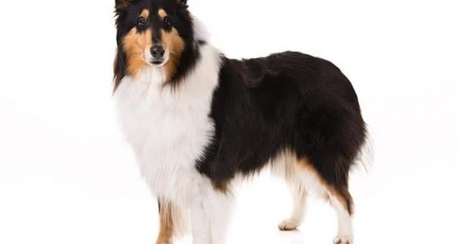 10 Dog Breeds Most Compatible With Collies