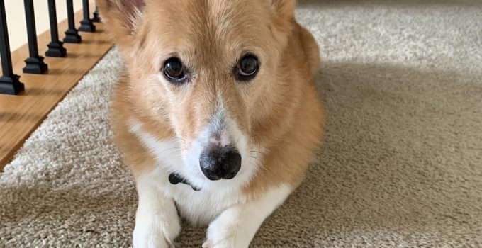 10 Dog Breeds Most Compatible With Corgis